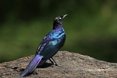 Ruppell's Long Tailed Starling (Chris B@rlow) Tags: africa bird birds kenya african starling starlings kenyan riftvalley ruppellslongtailedstarling lakebaringo birdsofafrica robertscamp birdsofkenya kenyanriftvalley