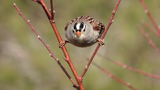 White Crowned Sparrow_11_28_13_Santee Ca 166