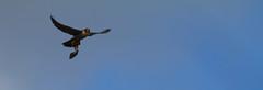 Peregrine Falcon Flying With Kill 1 (fredhosley) Tags: november bird church nature canon ma wildlife massachusetts raptor 7d falcon mass peregrine haverhill 2013 100400mml