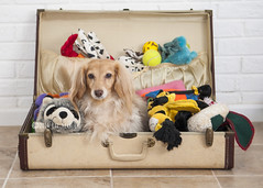 Full suitcase (Doxieone) Tags: dog animal animals ball toy toys stuffed dachshund luggage suitcase packed