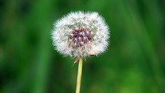 make a wish (cristastubbs) Tags: spring dandelion wish makeawish