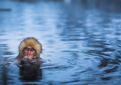 The Snow Monkeys of Jigokudani in Japan (lucien_muller) Tags: park travel wild snow nature animals japan canon monkey wildlife onsen monkeys nagano japon singe jigokudani macaque singes monkeypark yudanaka markiii snowmonkeys shibuonsen yamanouchi jigokudanimonkeypark japanesemonkeys canon5dmarkiii 5dmarkiii
