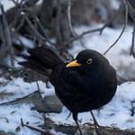 Finnish birds