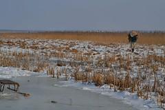 Zima na bagnach. (September Songs) Tags: winter reed zima marshes bagna trzcina biebrzanationalpark biebrzaskiparknarodowy