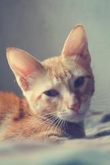 Marlon (laurw) Tags: orange cute animal animals cat little gato naranja