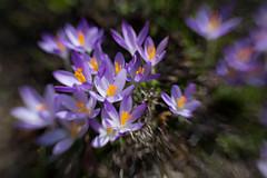 Plüüümchen (hansekiki ) Tags: flowers lensbaby canon blumen blume krokus 5dmarkiii sweet35 composerpro