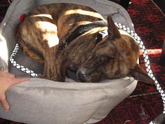 IMG_8488 (SassyKnits) Tags: fanny pitbull basenji brindle adopted mixedbreed jac shelterdog yarnshop jerseyanimalcoalition trilliumyarns