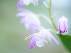 Flower (BrinksFotografie) Tags: flower macro nature nikon bokeh violet natuur lila lilac micro nikkor lr blooming paars bloem 105mm 105mmf28 105mmvr d700 brinksfotografie wjbrink