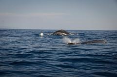 _14L5972 (5816OL) Tags: dad maui whales vacations hawaii2014