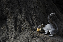 Hungry little fella (Neymgm) Tags: tree cute texture nature animal fur furry squirrel eating bark approved ardilla mygearandme neymgm