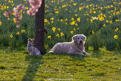 2 Dogs III (boettcher.photography) Tags: flowers dogs animals germany deutschland tiere spring blumen hunde frhling schwetzingen castlegarden badenwrttemberg schwetzingenschlossgarten sashahasha boettcherphotography