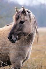 Konik Pony (andy_n_1976) Tags: portrait eye canon suffolk head ears pony mane 60d tamron70300lens redgraveandlophamfen konikpony