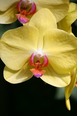 Yellow Beauty (eyriel) Tags: sun orchid flower nature yellow garden conservatory greenhouse
