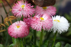 Bellis (annalisabianchetti) Tags: flowers fiori bellis pratoline