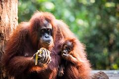 Sandra and Baby 4569 (Ursula in Aus (Resting - Away)) Tags: animal sumatra indonesia sandra unesco orangutan bukitlawang gunungleusernationalpark earthasia
