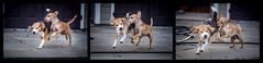 Tag and chase (melekzek) Tags: dog max beagle maya chase ef135mmf2 cheweenie canoneos5dmkiii