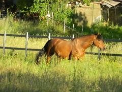Andalusian (Clerss Malisha) Tags: barcelona horses horse pet cute animal animals mammal spain dolce spanish elegant cavalli cavallo domestico animali animale barcellona spagna andalusian simpatico andalusianhorse elegante spagnolo tenero mammifero andaluso