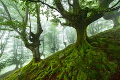 Hayedo en Belaustegi (Alfredo.Ruiz) Tags: forest canon foggy bizkaia niebla 14mm hayedo orozko samyang eos6d belaustegi