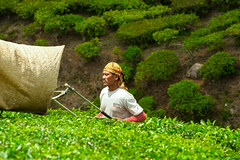 Tea picker, Cameron Highlands, Malaysia (Swissrock) Tags: plant green tea malaysia greentea cameronhighlands 2015 teapicker teeplantage nikond700