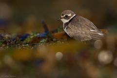 ENTRE ALGAS (Carlos Cifuentes) Tags: chorlitejogrande charadriushiaticula pillarareal greatringedplover carloscifuentes wildlife nature birds