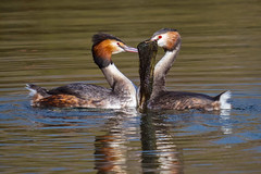 Sorry, i couldn't find a rose........ (klythawk) Tags: greatcrestedgrebe podicepscristatus mating courtshipritual nature wildlife winter spring reflections sunlight waterbirds blue green orange red grey yellow black white olympus em1mkll 100400mm panasonic marinalake colwickpark nottingham klythawk