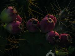 DSCF0927.jpg (José Luis Marrero Medina) Tags: laspalmasdegrancanaria sunrise miradordemonteluz planta vegetación flor grancanaria canaryislands amanecer tunosindios tuneraindia laspalmas naturaleza tunos islascanarias españa spain