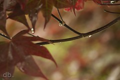 Rainy Saturday Morning (Bino99) Tags: morning tree leaves rain canon maple bokeh drop japonica borderfx