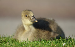 Greylag Gosling (SteveJM2009) Tags: park uk light baby sun colour cute beauty grass june focus dof sweet bokeh beak fluffy down goose dorset gosling poole anseranser stevemaskell greylag 2013 naturethroughthelens