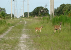 White Tail on Powerline Rd. (11Jewels) Tags: nature animals florida wildlife sony cybershot fourseasons sarasota myakka biketrail floridastateparks