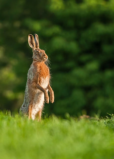 Curious brown hare