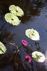 ... (irinads14) Tags: lake pond waterlily irinads14