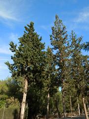 Cypress trees (Cristian Gonzlez Titorenko) Tags: mountain tree cypress elvalle carrascoy
