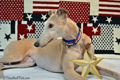 Miss Freedom (houndstooth4) Tags: dog greyhound bunny star patriotic odc day182 day182365 3652013 dogchal 365the2013edition 01jul13