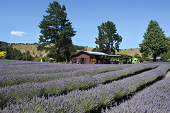 Forgotten World Highway-Laurens Lavender Farm (scrumpy 10) Tags: newzealand nature landscape nikon natur aotearoa mothernature coffeebreak neuseeland landschaften d800 jacqualine forgottenworldhighway ozeanien newzealandnature scrumpy10 laurenslavenderfarm