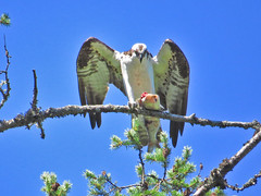Osprey with lunch (Birdman of Beaverton) Tags: bird washington stevenson osprey sx50