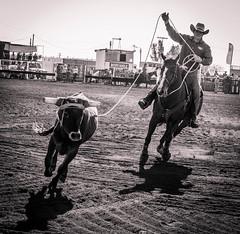 DSC_4966 (Joel Spooner Photography) Tags: cowboy cattle australia backpacking queensland rodeo outback traveling jackaroo outbackaustralia cattlestation cattlework