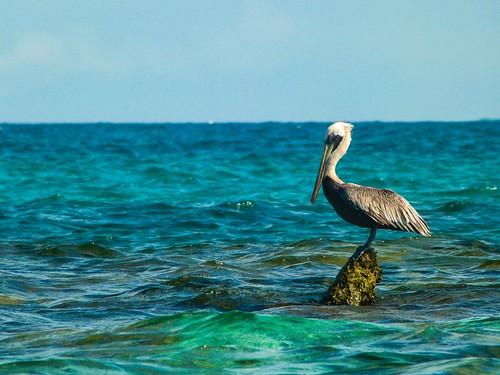 Viejo Pelicano