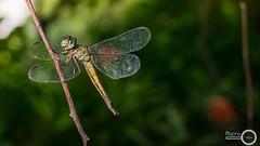 Trithemis festiva  1 (PF T.J.) Tags: macro dragonfly malaysia perch odonata