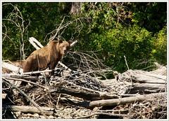 Keeping an eye on us (Free 2 Be) Tags: bear bc britishcolumbia grizzly centralcoast atnarko bellacoola grizzlybear atnarkoriver afsdxvrzoomnikkor18200mmf3556gifedii