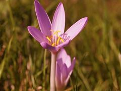 Herbstzeitlose 002 (nardo1569) Tags: autumn flower fall nature herbst natur meadows blume saffron herbstzeitlose herbstzeitlo