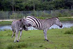 "safari024 • <a style=""font-size:0.8em;"" href=""https://www.flickr.com/photos/66799036@N08/10026490873/"" target=""_blank"">View on Flickr</a>"