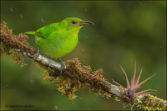 Green Honeycreeper Female (Daniel Hernndez Ugarte) Tags: costa color green colors costarica coto rica brus sanvito mielero spiza chlorophanesspiza chlorophanes honneycreeper