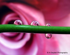Four droplets (uvaisjm - Al Seylani Photography) Tags: macro closeup droplets drop dewdrop refraction droplet waterdrops
