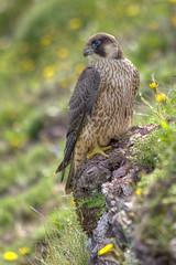 Peregrine falcon (Ronan.McLaughlin) Tags: ireland nature birds nikon wildlife sigma raptor falcon birdofprey peregrine falcoperegrinus sigma150500mm ronanmclaughlin