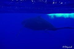 Rurutu: ses baleines dans son fameux bleu...Odyssub (Odyssub) Tags: sea underwater scuba diving whale perpignan apnea baleine plongee polynesie apnee rurutu odyssub uploaded:by=flickrmobile flickriosapp:filter=nofilter