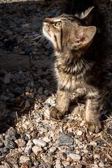 Micio randagio (Aris Cereghetti) Tags: pet cats pets animals cat furry kitten ar tiger adorable kitty kittens mao katze miao gatto aris catlover cere cereghetti