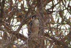 lanner falcon, Murchison Falls NP, Uganda (cirdantravels (Fons Buts)) Tags: uganda lannerfalcon murchisonfallsnp falcobiarmicus lannervalk