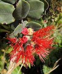 Lehua (Anita363) Tags: flower tree hawaii flora hi bigisland hawaiivolcanoesnationalpark lehua myrtaceae ohia metrosideros sulphurbanks metrosiderospolymorpha