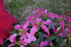 X'mas flower (ddsnet) Tags: plant flower sony taiwan cybershot   taoyuan      rx10 xmasflower    xmas flower 851