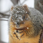Squirrel in the Winter at the University of Michigan (January 16, 2014) thumbnail